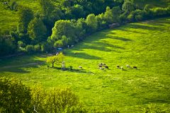 Vacas em um pasto id?lico da montanha em Baviera imagem de stock
