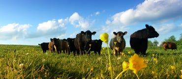 Vacas em um prado Fotos de Stock Royalty Free