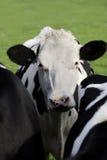 Vacas em um prado Imagens de Stock