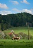Vacas em um prado verde em um fundo das montanhas e do céu azul Imagem de Stock
