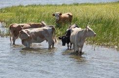 Vacas em um riverbank Foto de Stock