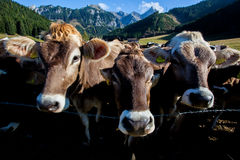 Vacas em uma bio exploração agrícola Fotografia de Stock Royalty Free