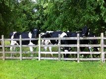 Vacas em uma cerca Fotos de Stock Royalty Free