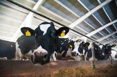 Vacas em uma exploração agrícola Vacas de leiteria Fotos de Stock Royalty Free