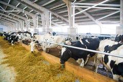 Vacas em uma exploração agrícola Vacas de leiteria Imagens de Stock