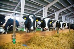 Vacas em uma exploração agrícola Vacas de leiteria Fotografia de Stock Royalty Free