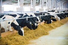 Vacas em uma exploração agrícola Vacas de leiteria Fotografia de Stock