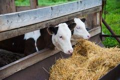 Vacas em uma exploração agrícola Vacas de leiteria Imagem de Stock