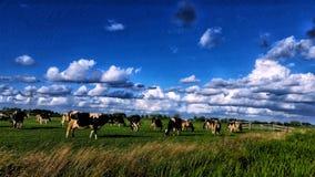Vacas em uma paisagem holandesa imagem de stock royalty free