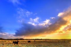Vacas em uma pastagem na luz da manhã imagens de stock royalty free