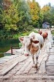 Vacas em uma ponte Foto de Stock