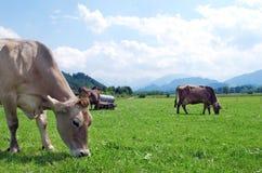 Vacas en campo foto de archivo