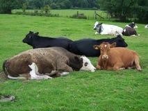 Vacas en campo Fotos de archivo libres de regalías
