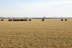 Vacas en campo Imagen de archivo libre de regalías