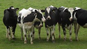 Vacas en campo almacen de video