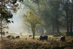 Vacas en campo Fotos de archivo