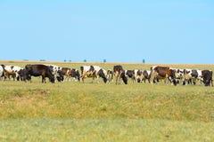 Vacas en campo fotografía de archivo libre de regalías