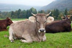 Vacas en campo suizo Foto de archivo libre de regalías