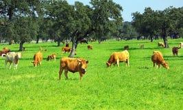 Vacas en campo verde. Foto de archivo