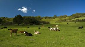 Vacas en clasifiadas Imagen de archivo