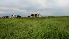 Vacas en día nublado Imágenes de archivo libres de regalías