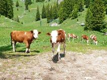 Vacas en el Alm Fotografía de archivo