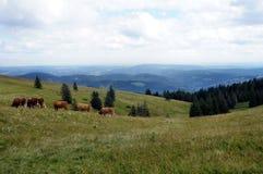 Vacas en el bosque negro, Alemania Foto de archivo libre de regalías