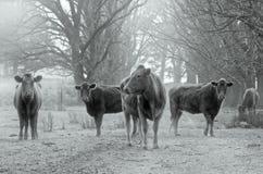 Vacas en el camino Fotos de archivo