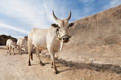 Vacas en el camino Imagenes de archivo
