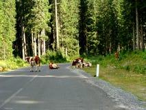 Vacas en el camino Imagen de archivo libre de regalías