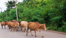 Vacas en el camino Foto de archivo libre de regalías