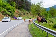 Vacas en el camino Fotografía de archivo