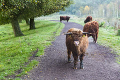 Vacas en el camino Imagen de archivo