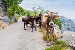 Vacas en el camino de la montaña Imagen de archivo