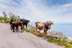 Vacas en el camino de la montaña Imágenes de archivo libres de regalías
