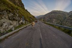 Vacas en el camino de la montaña - conduciendo en las montañas del Cáucaso Imagen de archivo