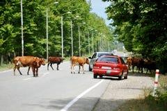 Vacas en el camino en Georgia Foto de archivo libre de regalías