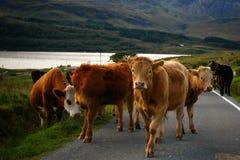 Vacas en el camino en la puesta del sol en la isla de Skye Imagen de archivo libre de regalías