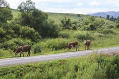 Vacas en el camino en las montañas de Altai. Foto de archivo libre de regalías