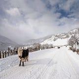 Vacas en el camino nevoso Imagen de archivo
