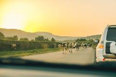Vacas en el camino en puesta del sol Foto de archivo