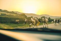 Vacas en el camino en puesta del sol Imágenes de archivo libres de regalías