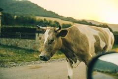 Vacas en el camino en puesta del sol Foto de archivo libre de regalías