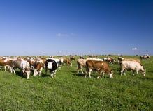 Vacas en el campo Imagen de archivo libre de regalías