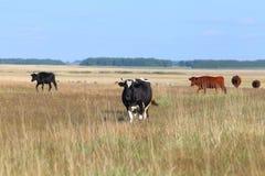 Vacas en el campo Imágenes de archivo libres de regalías
