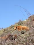 Vacas en el campo Fotos de archivo
