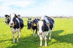 Vacas en el campo de Países Bajos Foto de archivo libre de regalías