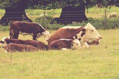 Vacas en el campo, Reino Unido Imagen de archivo libre de regalías