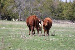 Vacas en el campo - vaca, becerro, de un año Imagenes de archivo