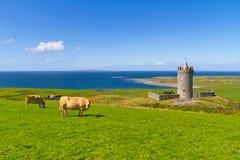 Vacas en el castillo en Irlanda Imagen de archivo libre de regalías